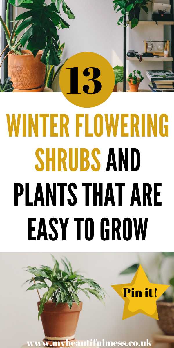 These 7 winter flowering shrubs and plants are really easy to grow and keep alive during the colder months. They add colour to your garden too by Laura at My Beautiful Mess #winteflowers #shrubs