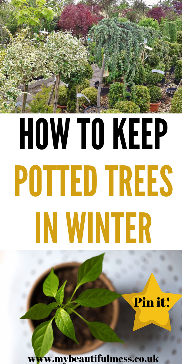 This is how to keep potted trees in Winter. This talks you through how to keep them alive, which trees to pick and which flower by Laura at My Beautiful Mess #WinterTrees #Pottedtrees