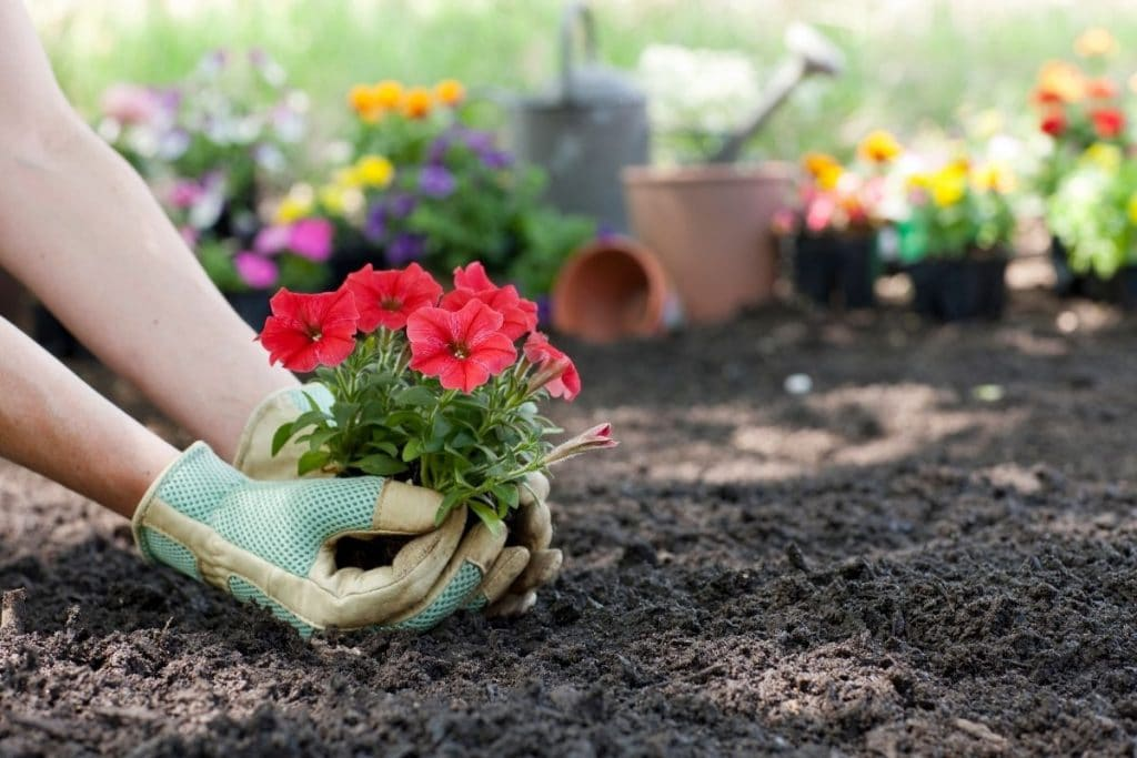 Flowers being planted in the ground