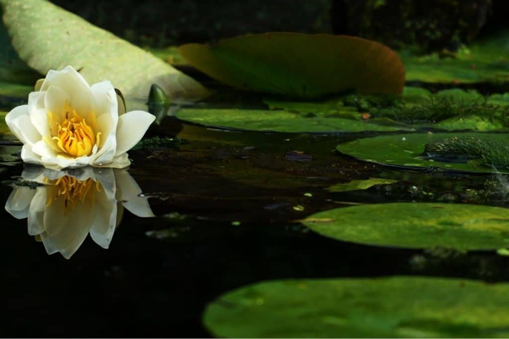 Pond with green lily pad